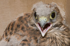 O pássaro de reza Imagem de Stock Royalty Free