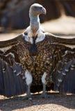 O pássaro predador está sentando-se na terra kenya tanzânia Fotografia de Stock Royalty Free