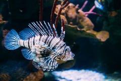 O Pterois vermelho Volitans do Lionfish é Coral Reef Fish Swimmi peçonhento fotografia de stock