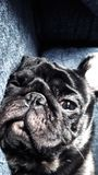 O Pug Foto de Stock Royalty Free