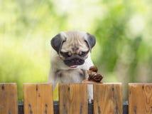 O pug do cachorrinho está olhando enquanto um grande caracol leva o caracol pequeno Imagem de Stock
