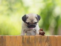 O pug do cachorrinho está olhando enquanto um grande caracol leva o caracol pequeno na cerca de madeira Fotografia de Stock