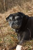 o pug esfrega Adelheid nomeado que faz o sol do inverno que relaxa em um campo Fotografia de Stock Royalty Free