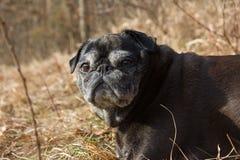 o pug esfrega Adelheid nomeado que faz o sol do inverno que relaxa em um campo Imagens de Stock