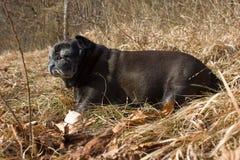 o pug esfrega Adelheid nomeado que faz o sol do inverno que relaxa em um campo Foto de Stock Royalty Free