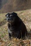 o pug esfrega Adelheid nomeado que faz o sol do inverno que relaxa em um campo Fotos de Stock