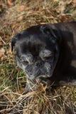 o pug esfrega Adelheid nomeado que faz o sol do inverno que relaxa em um campo Imagem de Stock