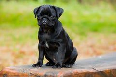O Pug Marley do bebê aprecia o verão Fotografia de Stock