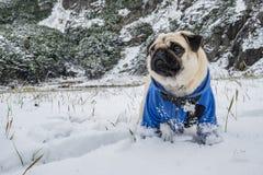O Pug vestiu uma posição do casaco azul na neve fotografia de stock