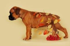 O pugilista vermelho do cachorrinho está lateralmente sobre as folhas de outono imagens de stock royalty free