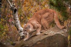 O puma do homem adulto (concolor do puma) agacha-se na rocha Fotos de Stock Royalty Free