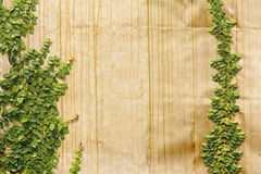 O pumila de escalada do Ficus goden sobre a parede imagem de stock