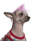 O punk vestiu o cão calvo mexicano, 4 anos velho fotografia de stock