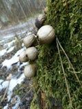 O pyriforme do Lycoperdon cresce sobre o musgo Foto de Stock