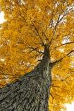 O que árvore amarela! Imagens de Stock