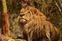 O que o leão está vendo realmente! Imagem de Stock Royalty Free