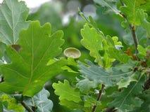 O Quercus do carvalho com fruto foto de stock