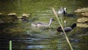 O querquedula da espátula da cerceta é um flutuador chapinhando pequeno do pato na água e no mergulho no dia ensolarado video estoque