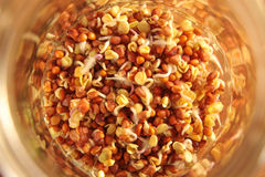 O rabanete semeia o começo para brotar em um frasco emergente Fotografia de Stock