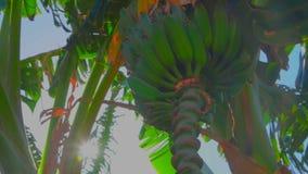 O raio de sol brilha através das bananas na árvore vídeos de arquivo