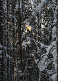 O raio na floresta do inverno Foto de Stock Royalty Free