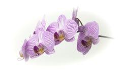 O ramalhete bonito da orquídea cor-de-rosa e branca floresce em um fundo branco Fotografia de Stock