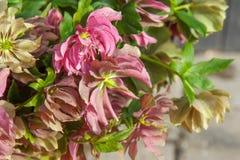 O ramalhete bonito do helleborus vermelho e cor-de-rosa floresce o close up imagem de stock