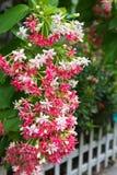 Ramalhete cor-de-rosa da flor Indica de Quisqualis Fotografia de Stock Royalty Free