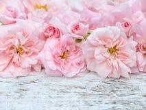 O ramalhete cor-de-rosa das rosas no branco rústico pintou o fundo foto de stock