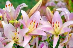 O ramalhete cor-de-rosa de Lillies floresce a foto conservada em estoque do fundo floral do dia de mães das mulheres imagem de stock
