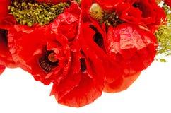 O ramalhete de flores selvagens vermelhas de rhoeas do Papaver fecha-se acima do PNF do milho Fotos de Stock