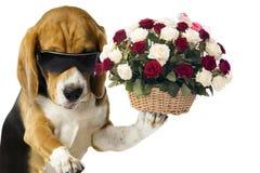 O ramalhete de rosas vermelhas e brancas em uma cesta de madeira guarda um cão bonito foto de stock royalty free