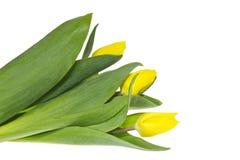 O ramalhete de três tulips amarelos. Fotos de Stock Royalty Free
