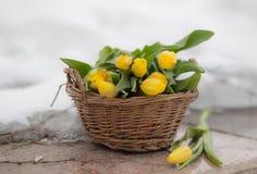 O ramalhete de tulipas amarelas em uma cesta marrom em uma luz borrou o fundo Fotos de Stock