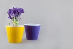 O ramalhete do açafrão roxo cresce no potenciômetro e no vaso de flores vazio Foto de Stock