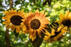 O ramalhete do girassol das flores em um vaso está contra sobre uma tarde ensolarada fotos de stock