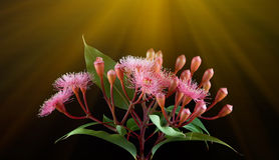 O ramalhete elegante do eucalipto cor-de-rosa floresce com raios do sol Fotos de Stock Royalty Free