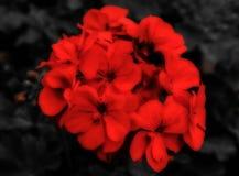 O ramalhete vermelho Imagens de Stock