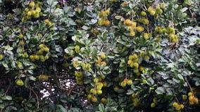 O Rambutan na árvore Fotos de Stock