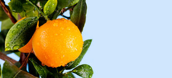 O ramo alaranjado do fruto do mandarino do citrino com água deixa cair nas folhas verdes Foto do jardim das horas de verão Fundo  Foto de Stock