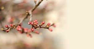 O ramo brota a natureza da árvore da mola Imagem de Stock Royalty Free