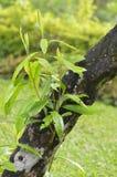 O ramo cresce do tronco de árvore Imagens de Stock Royalty Free