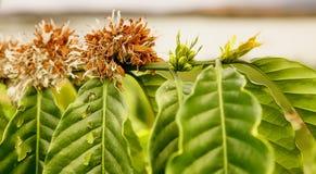 O ramo da árvore de café com flores Fotografia de Stock