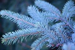 O ramo da árvore de Natal azul Fotografia de Stock