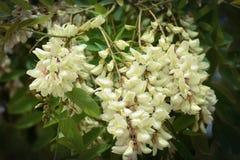 O ramo da acácia branca de florescência Foto de Stock