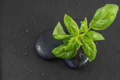 O ramo da manjericão nas pedras do preto com gotas da água Imagens de Stock Royalty Free