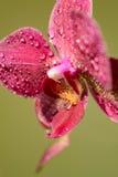 O ramo da orquídea floresce com gotas de orvalho em um fundo listrado Fotografia de Stock Royalty Free