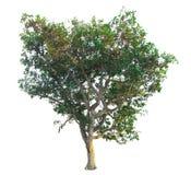 O ramo de árvore Foto de Stock