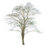O ramo de árvore Imagem de Stock Royalty Free