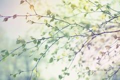 O ramo de árvore bonito do vidoeiro com verde sae no céu imagens de stock